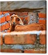 Goat In A Box Canvas Print