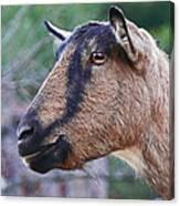 Goat In Profile Canvas Print
