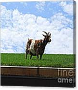 Goat On A Sod Roof In Sister Bay In Wisconsin Canvas Print
