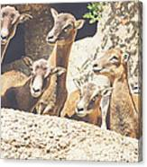 Goats On A Rock Canvas Print