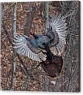 Gobbler In Flight Canvas Print