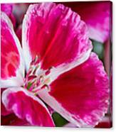 Godetia Pink And White Flower Canvas Print
