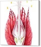 Goethea Strictiflora Flower Canvas Print