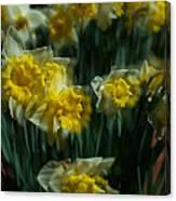 Gold Daffodil Canvas Print