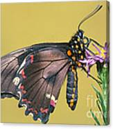 Gold Rim Swallowtail Butterfly Canvas Print