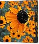 Gold Rudbeckia Blooms Canvas Print