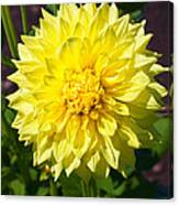 Gold Waterlily Dahlia Canvas Print