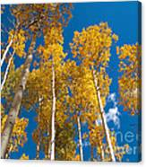 Golden Aspen Stand Canvas Print