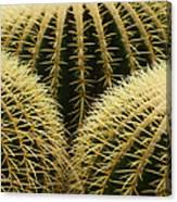 golden barrel cactus Mexico Canvas Print