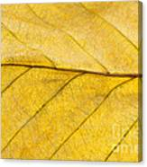 Golden Beech Leaf Canvas Print