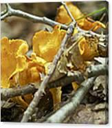 Golden Chanterelle - Cantharellus Cibarius Canvas Print