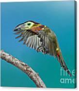 Golden-collared Toucanet Canvas Print