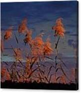 Golden Common Reeds Canvas Print