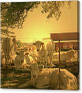 Golden Cows Canvas Print
