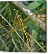 Golden Dragonfly At Rest Canvas Print