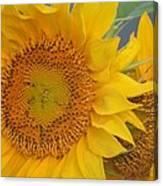 Golden Duo - Sunflowers Canvas Print