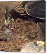 Golden Eagle Eats Canvas Print