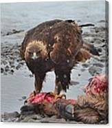Golden Eagle On An Elk Carcass Canvas Print