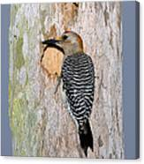 Golden-fronted Woodpecker Canvas Print
