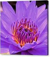 Golden Glow Of The Lavender Lotus Canvas Print