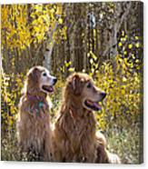 Golden Goldens - Golden Retriever Brothers - Casper Mountain - Casper Wyoming Canvas Print