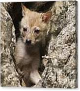 Golden Jackal Canis Aureus Cubs 2 Canvas Print