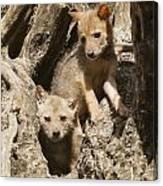 Golden Jackal Canis Aureus Cubs Canvas Print