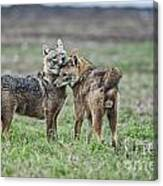 Golden Jackal Canis Aureus Canvas Print