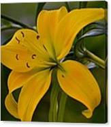 Golden Lily Sway 2013 Canvas Print
