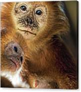 Golden Lion Tamarin Mother And Baby Canvas Print