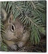 Golden Mantled Ground Squirrel    Callospermophilus Lateralis Canvas Print
