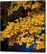 Golden Maples Canvas Print