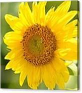 Golden Moment - Sunflower Canvas Print