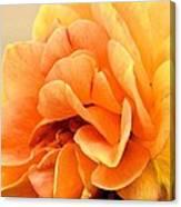 Golden Peach Rose Canvas Print