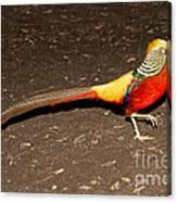 Golden Pheasant Male Canvas Print