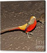 Golden Pheasant Pair Canvas Print