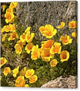 Golden Poppies Among Rocks Canvas Print