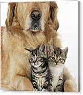 Golden Retriever And Kittens Canvas Print