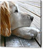 Golden Retriever Dog Waiting Canvas Print