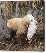 Golden Retriever Dog With Mallard Duck Canvas Print