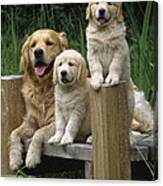 Golden Retriever Dog With Puppies Canvas Print