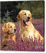 Golden Retriever Dogs In Heather Canvas Print
