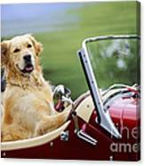 Golden Retriever In Car Canvas Print