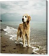 Golden Retriever On Beach Canvas Print