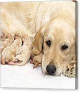 Golden Retriever Puppies Suckling Canvas Print