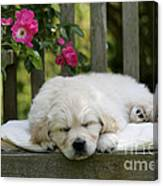 Golden Retriever Puppy Sleeping Canvas Print