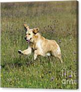 Golden Retriever Running Canvas Print