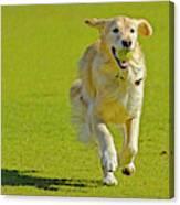 Golden Retriever Running On A Green Canvas Print