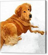 Golden Retriever Snowball Canvas Print