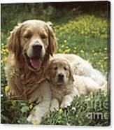 Golden Retrievers Dog And Puppy Canvas Print